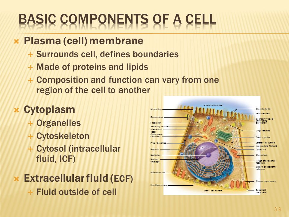  Unit membrane—forms the border of the cell and many of its organelles - Appears as a pair of dark parallel lines around cell (viewed with the electron microscope)  Plasma membrane—unit membrane at cell surface - Defines cell boundaries - Governs interactions with other cells - Controls passage of materials in and out of cell - Intracellular face—side that faces cytoplasm - Extracellular face—side that faces outward (a) Intercellular space Nuclear envelope Nucleus 100 nm Plasma membrane of upper cell Plasma membrane of lower cell