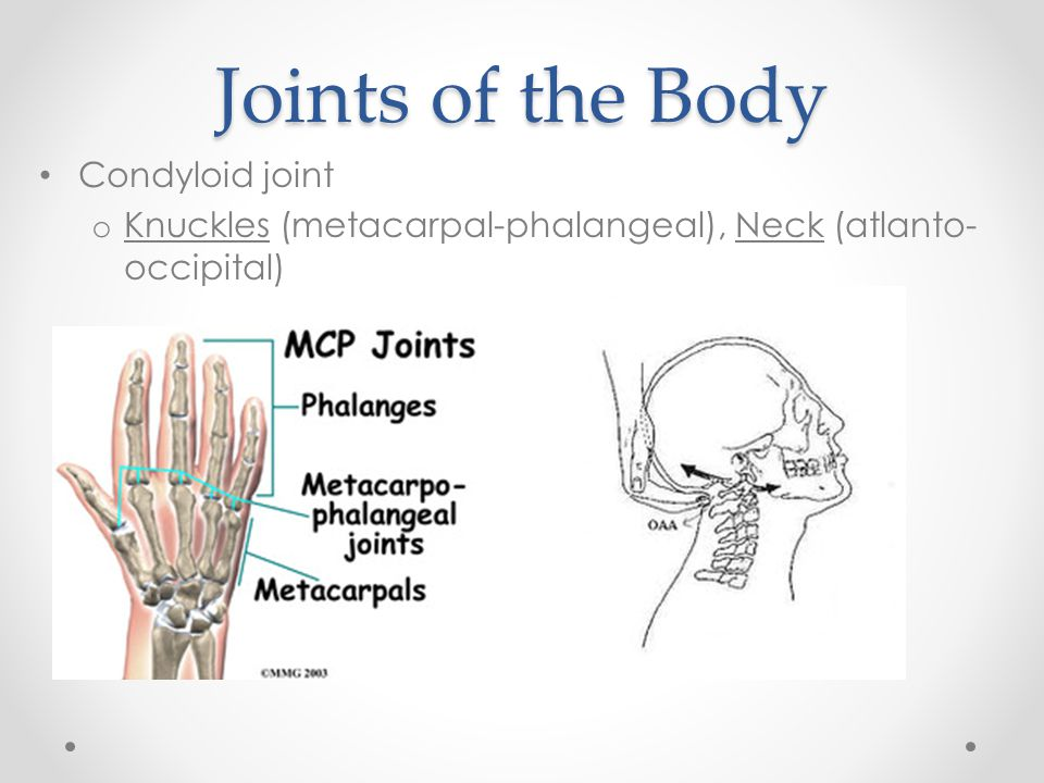Joints of the Body Condyloid joint o Knuckles (metacarpal-phalangeal), Neck (atlanto- occipital)