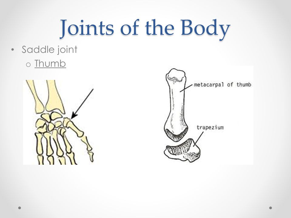 Joints of the Body Saddle joint o Thumb