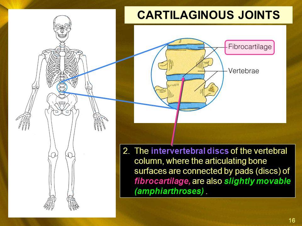 16 intervertebral discs fibrocartilage, slightly movable (amphiarthroses) 2.The intervertebral discs of the vertebral column, where the articulating b