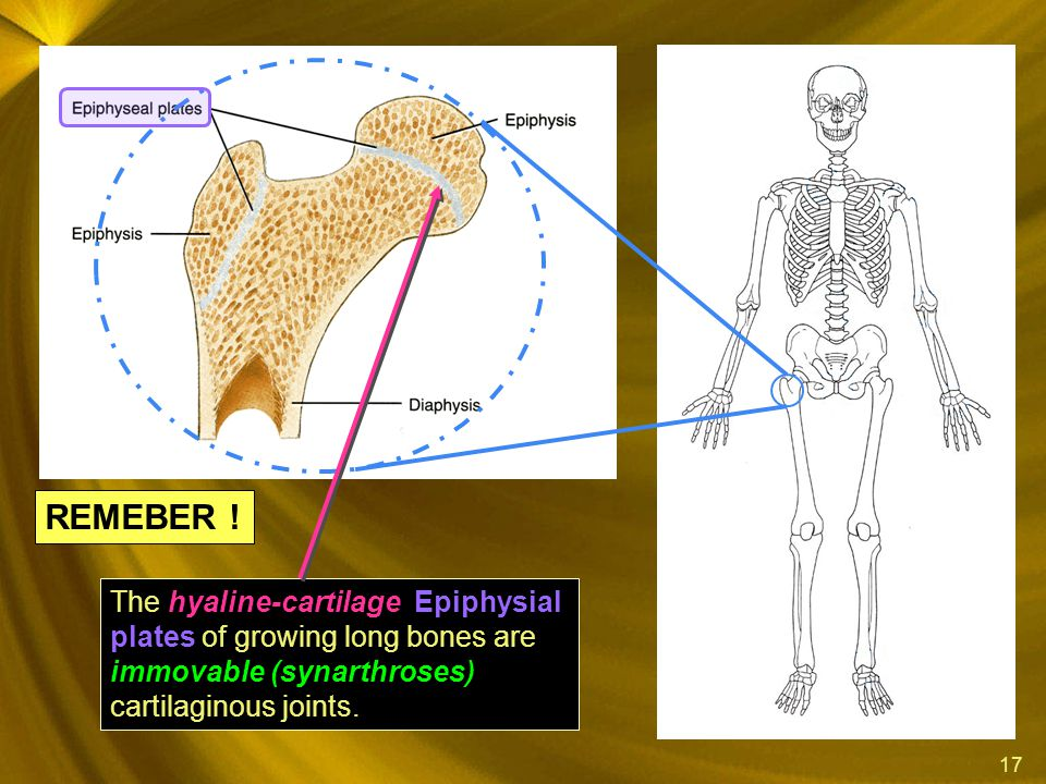17 hyaline-cartilage Epiphysial plates immovable (synarthroses) The hyaline-cartilage Epiphysial plates of growing long bones are immovable (synarthro
