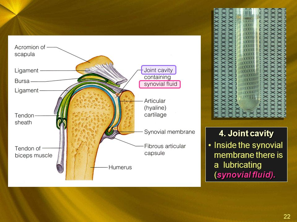 22 4. Joint cavity synovial fluid).Inside the synovial membrane there is a lubricating (synovial fluid).