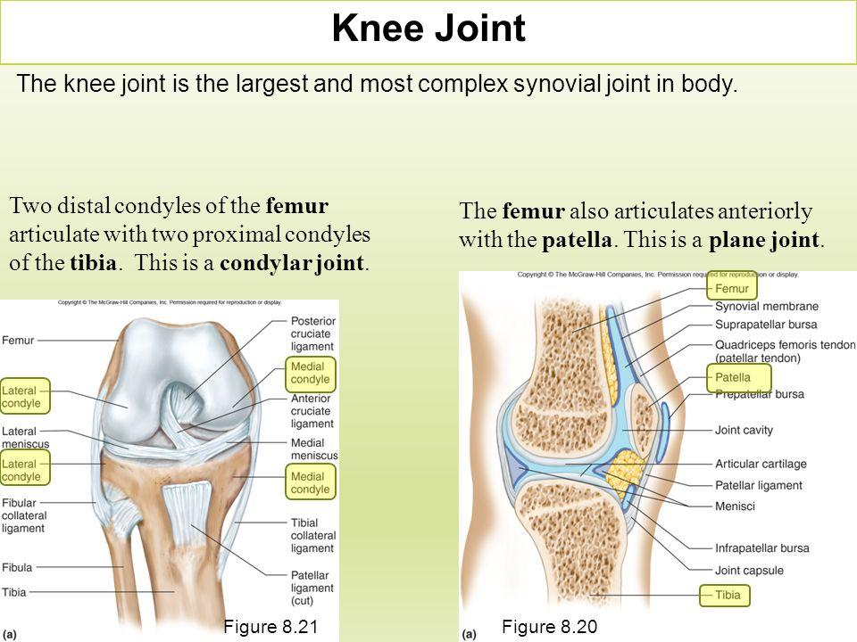 Knee Joint The knee joint is the largest and most complex synovial joint in body. Two distal condyles of the femur articulate with two proximal condyl