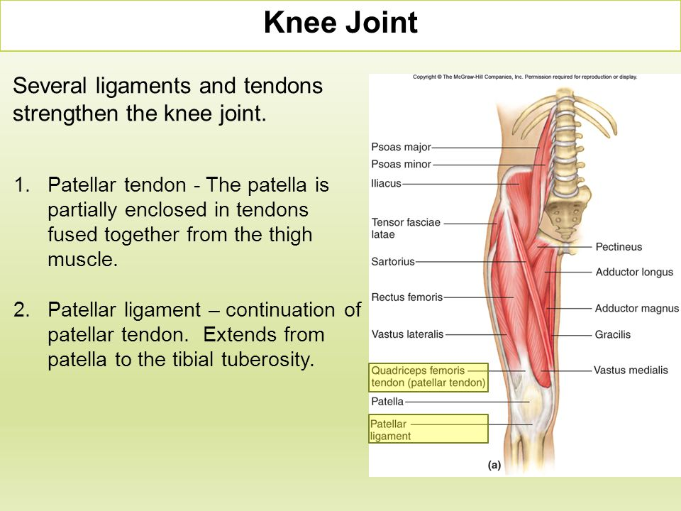 1.Patellar tendon - The patella is partially enclosed in tendons fused together from the thigh muscle. 2.Patellar ligament – continuation of patellar