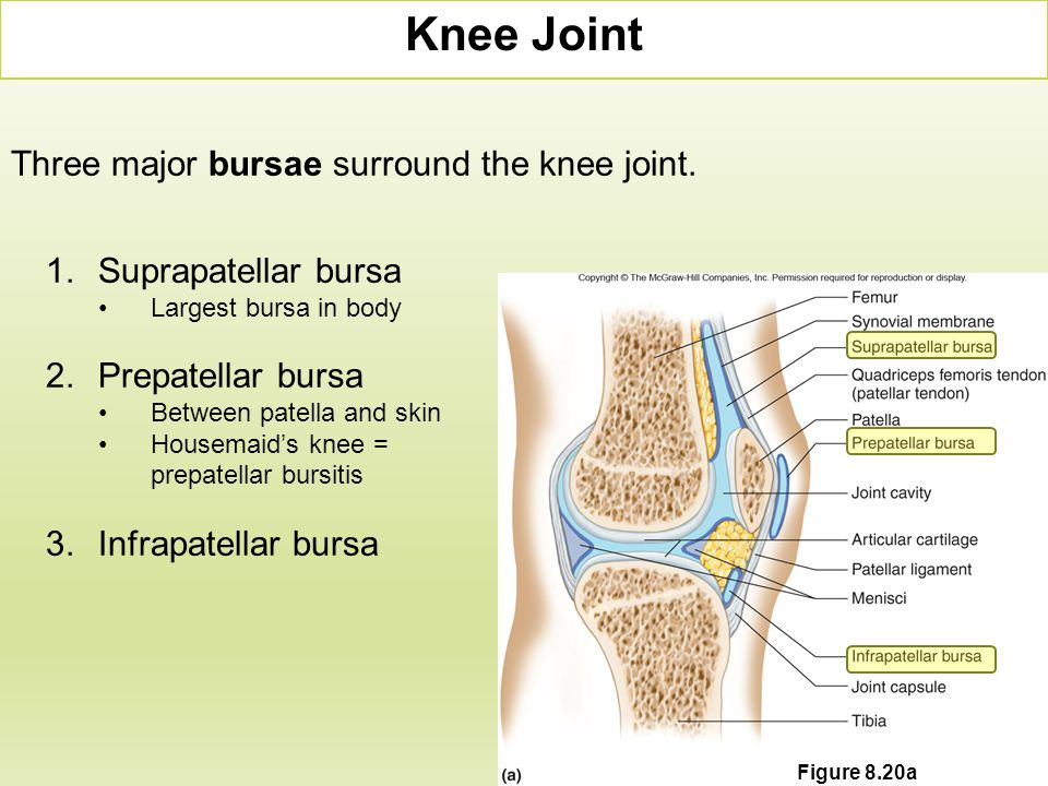 Three major bursae surround the knee joint. Knee Joint 1.Suprapatellar bursa Largest bursa in body 2.Prepatellar bursa Between patella and skin Housem