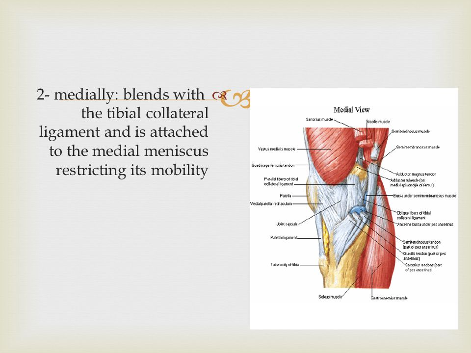   2- medially: blends with the tibial collateral ligament and is attached to the medial meniscus restricting its mobility