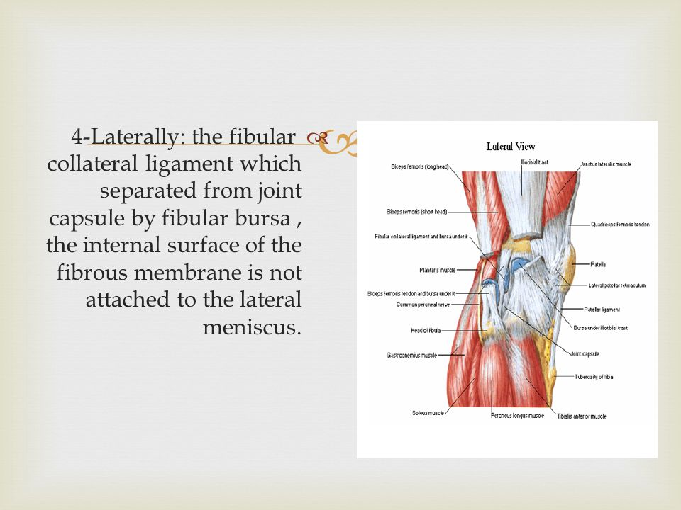   4-Laterally: the fibular collateral ligament which separated from joint capsule by fibular bursa, the internal surface of the fibrous membrane is