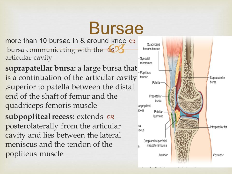  Bursae  more than 10 bursae in & around knee  bursa communicating with the articular cavity  suprapatellar bursa: a large bursa that is a continuation of the articular cavity,superior to patella between the distal end of the shaft of femur and the quadriceps femoris muscle  subpopliteal recess: extends posterolaterally from the articular cavity and lies between the lateral meniscus and the tendon of the popliteus muscle