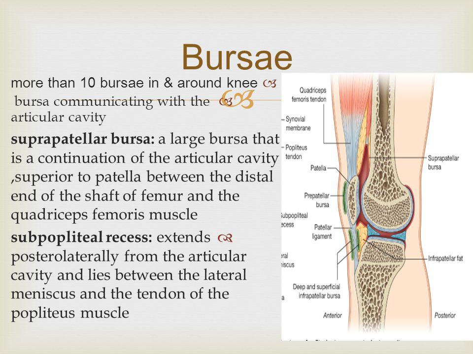  Bursae  more than 10 bursae in & around knee  bursa communicating with the articular cavity  suprapatellar bursa: a large bursa that is a continu