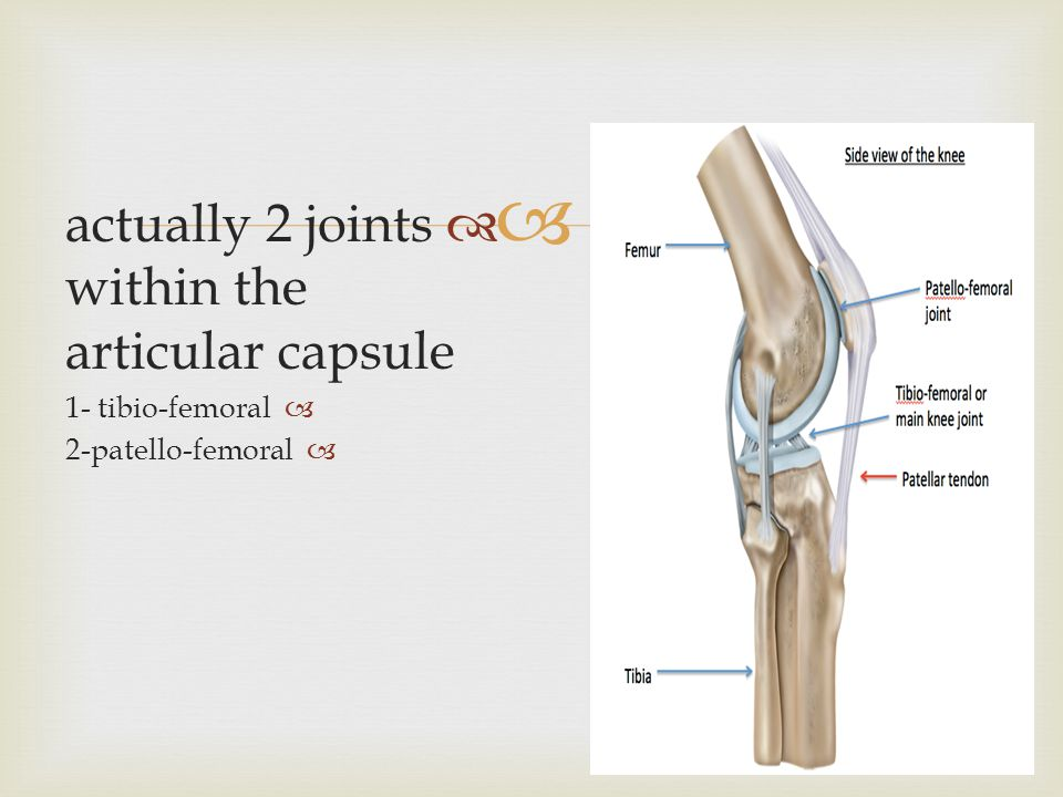   actually 2 joints within the articular capsule  1- tibio-femoral  2-patello-femoral