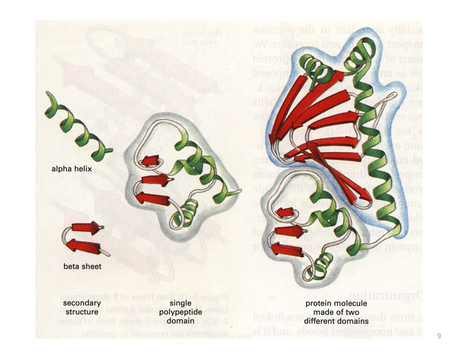 The shape of protein molecule: Globular proteins Fibrous proteins Protein domain[FIG.] Disulfide bonds[FIG.] Chaperones [FIG.] Protein function results from its structure.