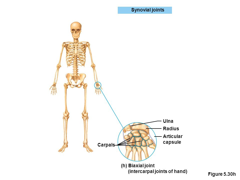 Figure 5.30h Synovial joints Ulna Radius Articular capsule (h) Biaxial joint (intercarpal joints of hand) Carpals