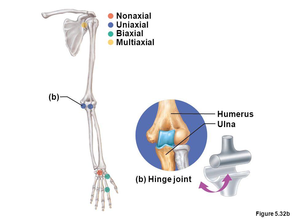 Figure 5.32b Nonaxial Uniaxial Biaxial Multiaxial (b) Humerus Ulna (b) Hinge joint