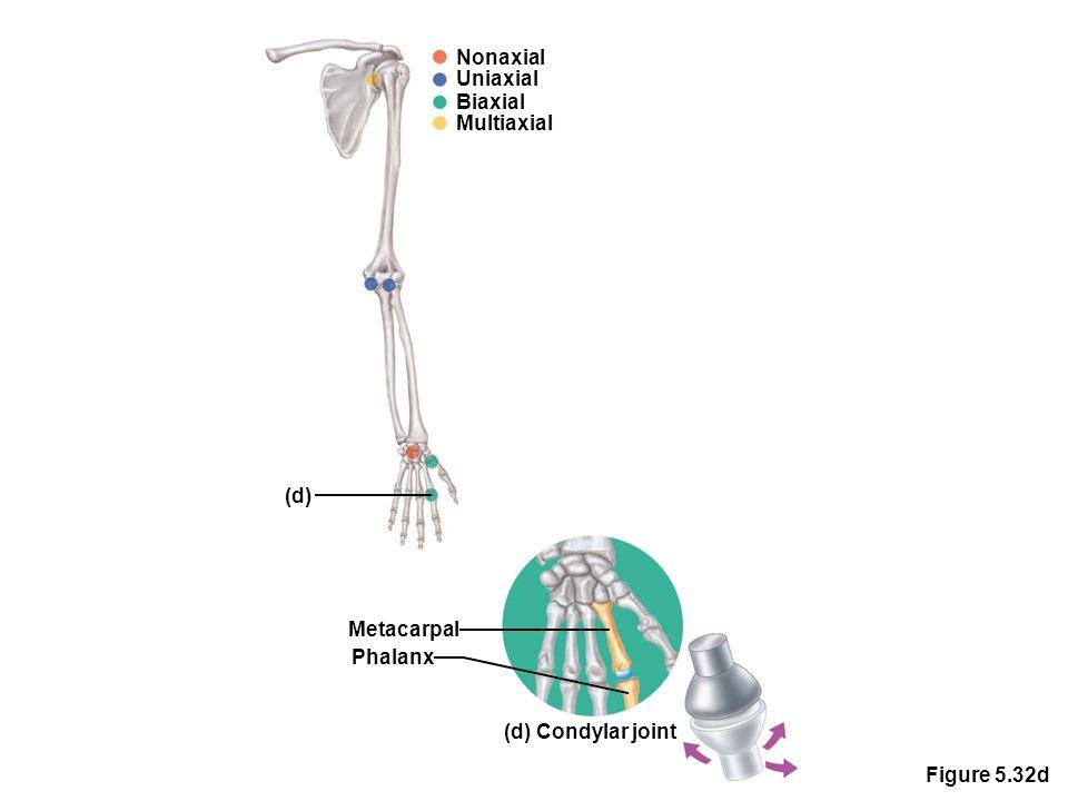 Figure 5.32d Nonaxial Uniaxial Biaxial Multiaxial (d) Metacarpal Phalanx (d) Condylar joint
