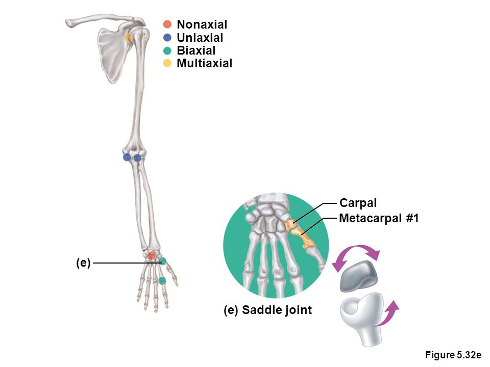 Figure 5.32e Nonaxial Uniaxial Biaxial Multiaxial (e) Carpal (e) Saddle joint Metacarpal #1