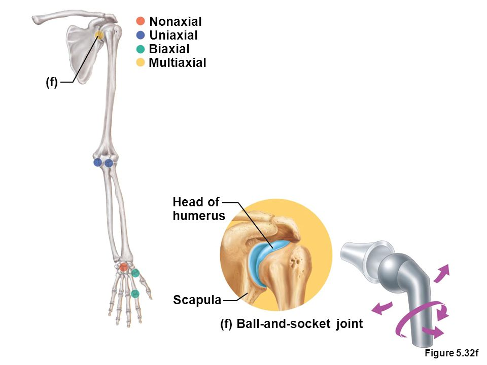 Figure 5.32f Nonaxial Uniaxial Biaxial Multiaxial (f) Head of humerus Scapula (f) Ball-and-socket joint