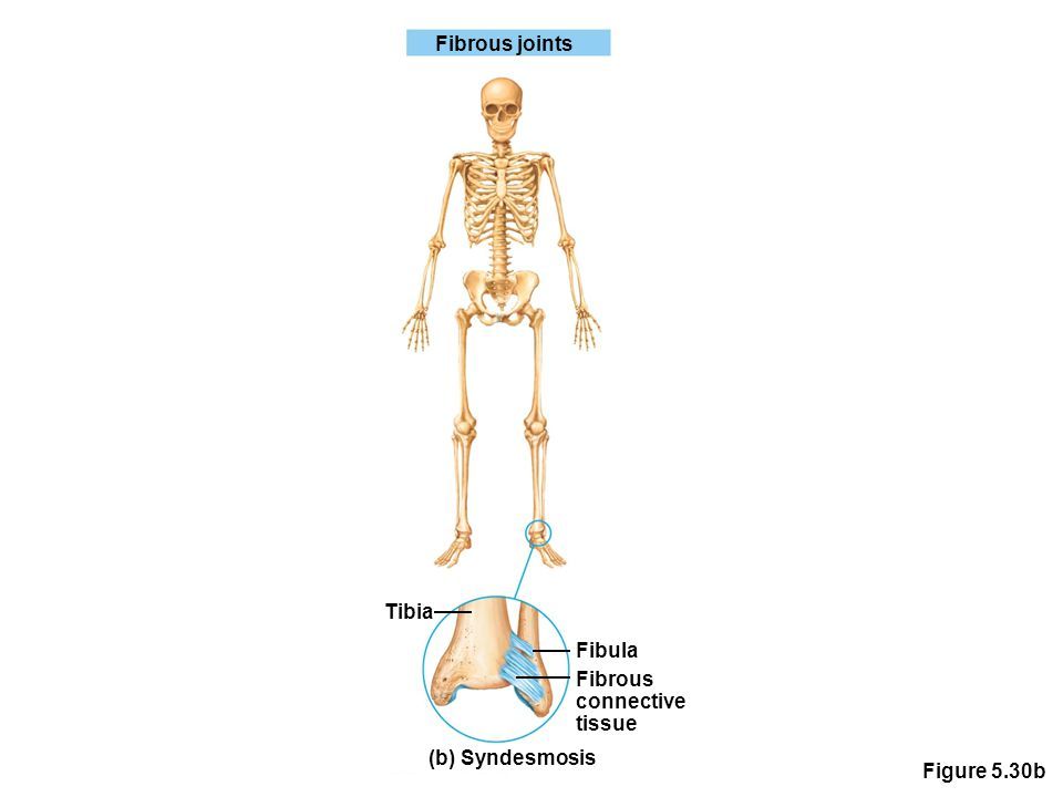Figure 5.30b Fibrous joints Tibia Fibula Fibrous connective tissue (b) Syndesmosis