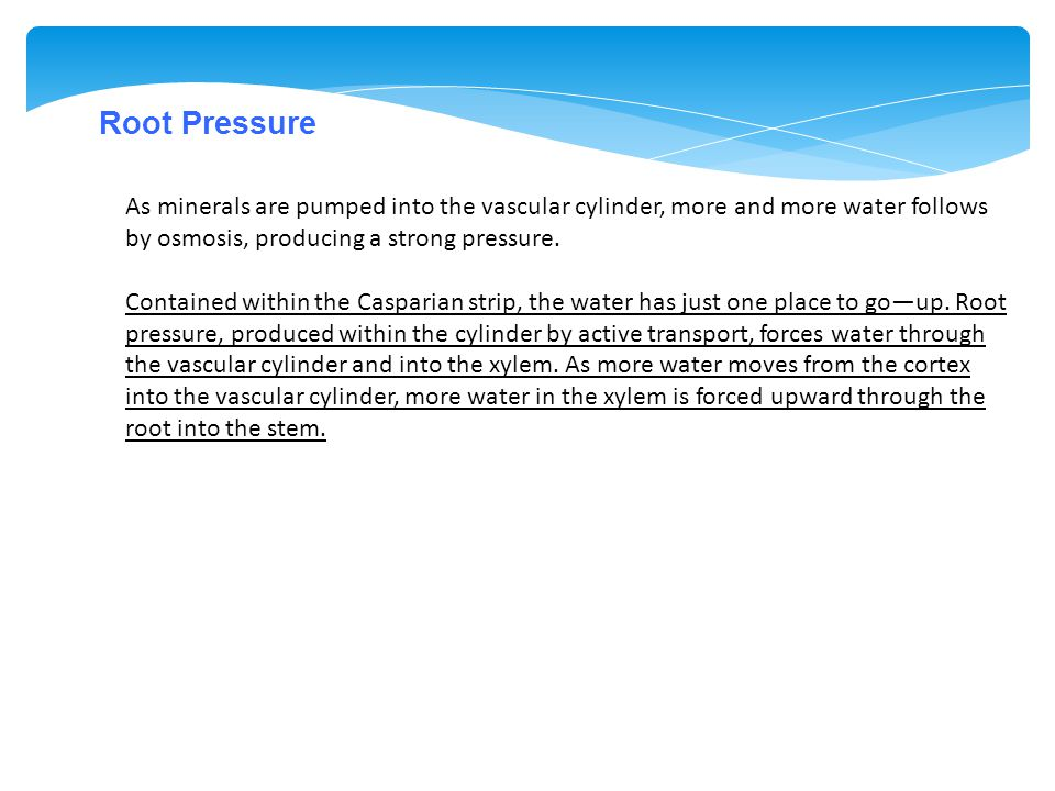 Root Pressure As minerals are pumped into the vascular cylinder, more and more water follows by osmosis, producing a strong pressure. Contained within