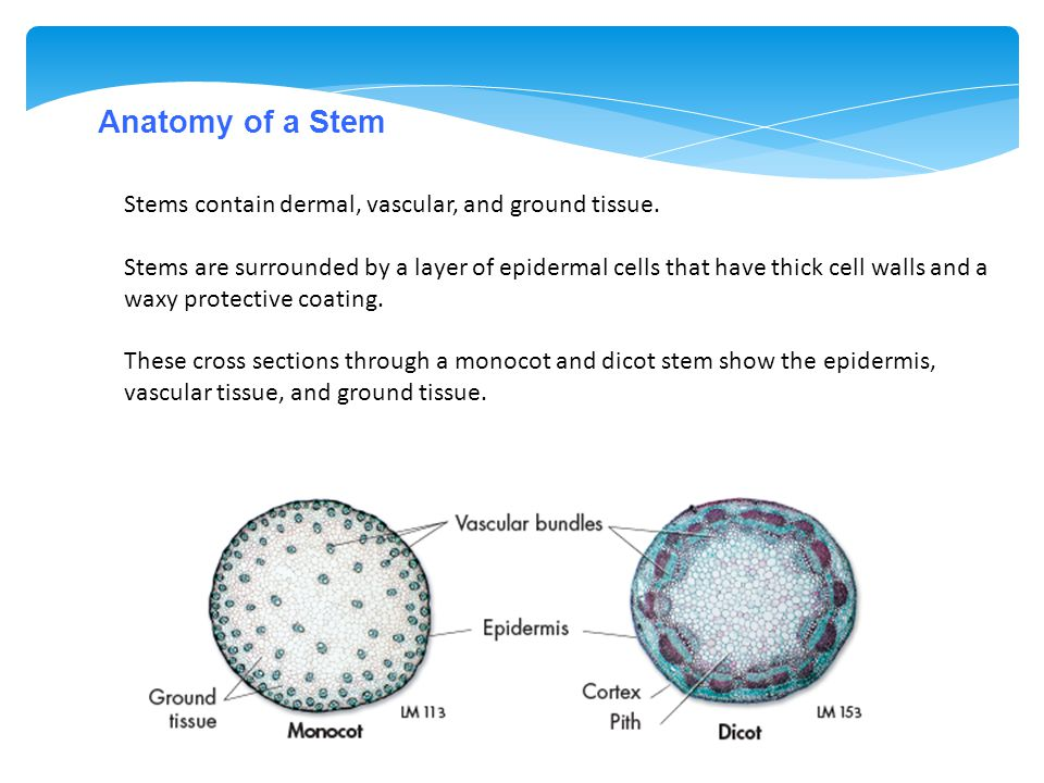 Anatomy of a Stem Stems contain dermal, vascular, and ground tissue. Stems are surrounded by a layer of epidermal cells that have thick cell walls and