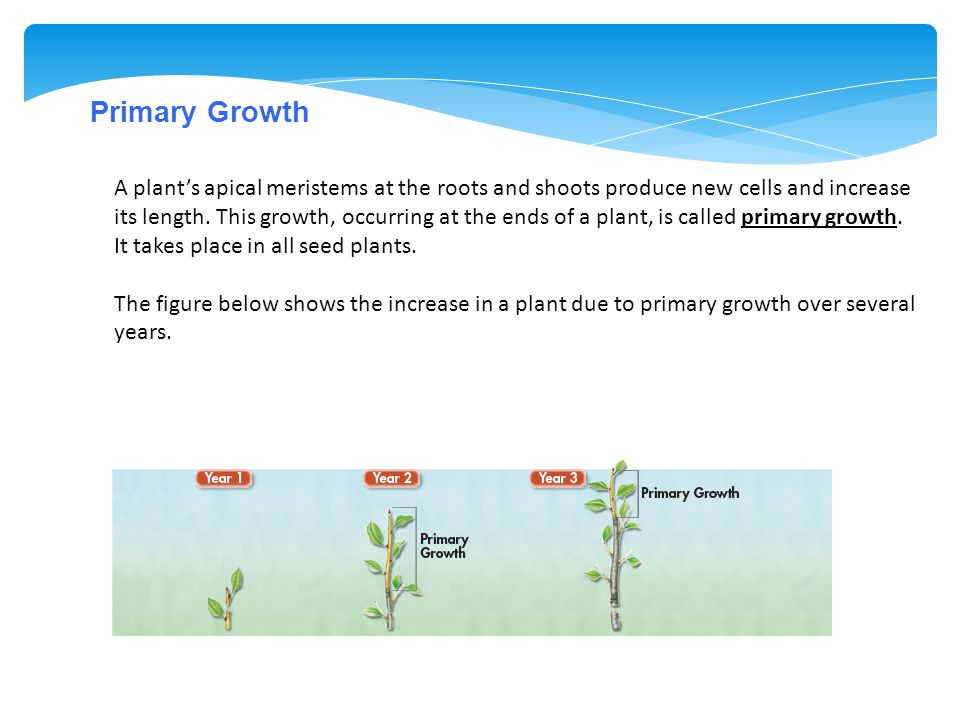 Primary Growth A plant's apical meristems at the roots and shoots produce new cells and increase its length. This growth, occurring at the ends of a p