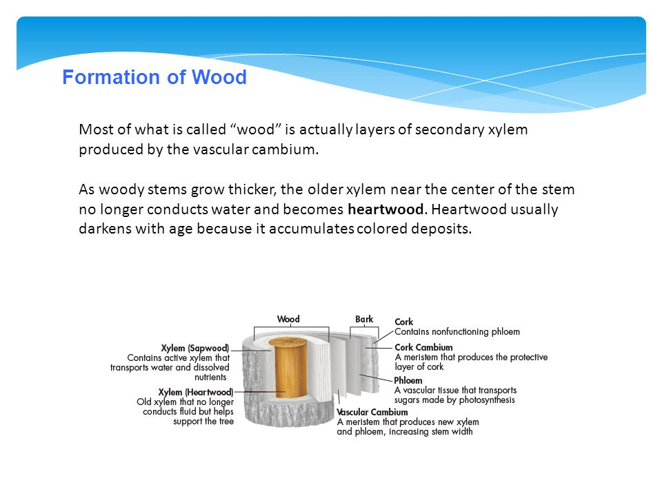 """Formation of Wood Most of what is called """"wood"""" is actually layers of secondary xylem produced by the vascular cambium. As woody stems grow thicker, t"""