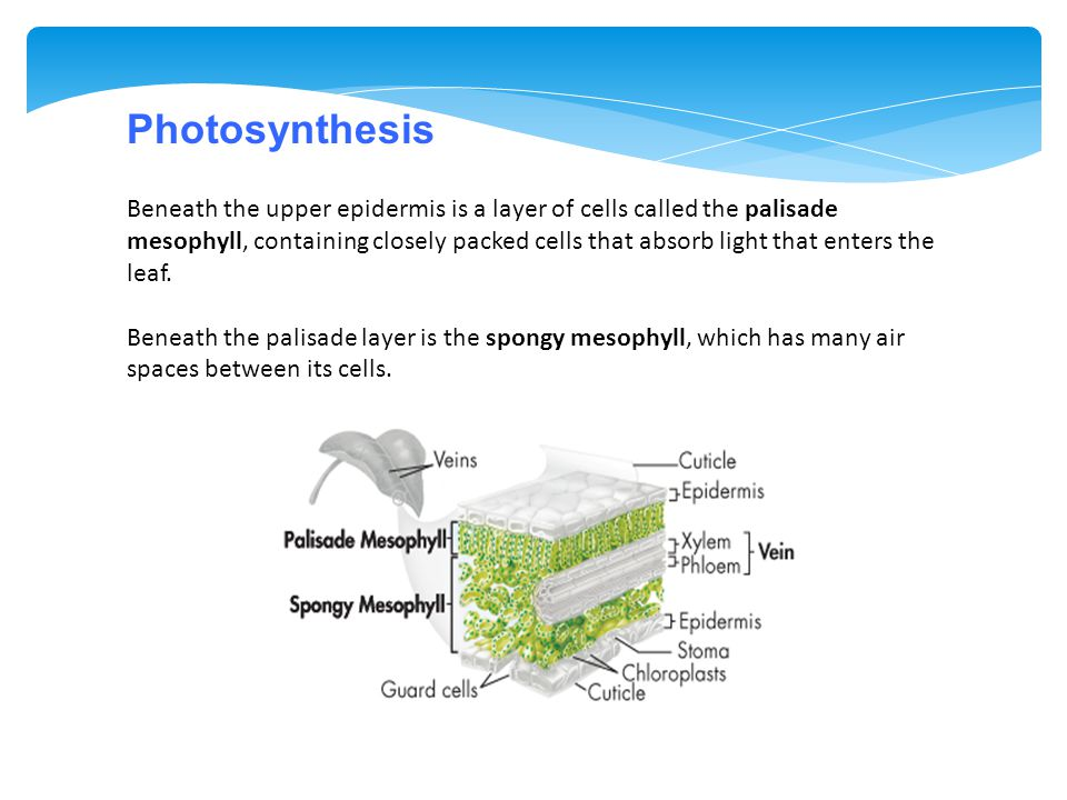 Beneath the upper epidermis is a layer of cells called the palisade mesophyll, containing closely packed cells that absorb light that enters the leaf.