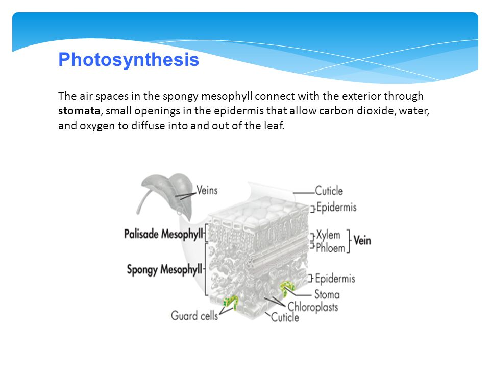 The air spaces in the spongy mesophyll connect with the exterior through stomata, small openings in the epidermis that allow carbon dioxide, water, an