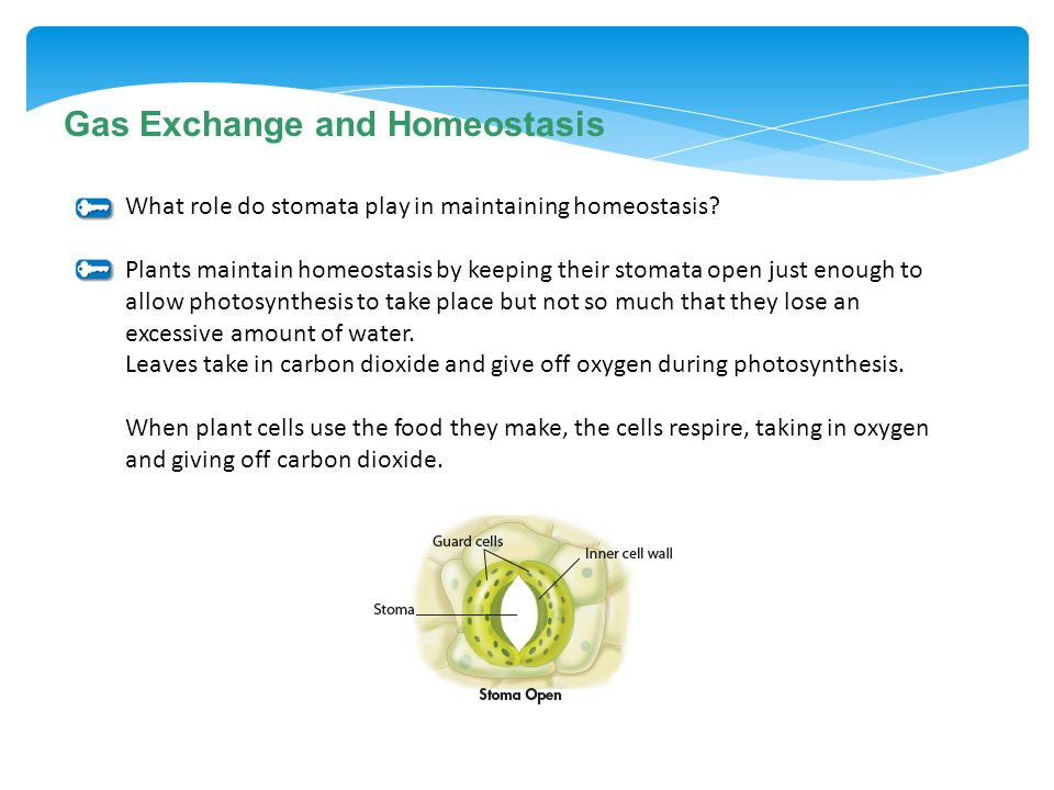 Gas Exchange and Homeostasis What role do stomata play in maintaining homeostasis? Plants maintain homeostasis by keeping their stomata open just enou