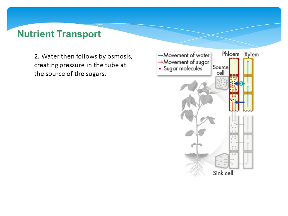 Nutrient Transport 2. Water then follows by osmosis, creating pressure in the tube at the source of the sugars.