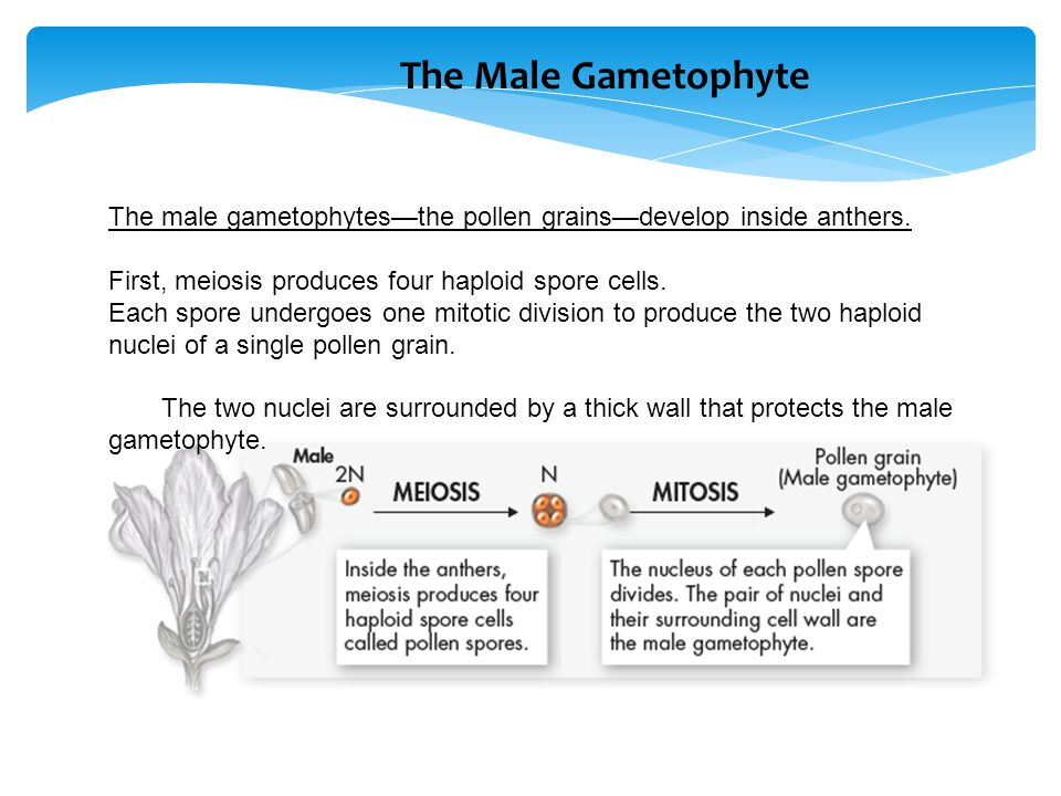 The male gametophytes—the pollen grains—develop inside anthers. First, meiosis produces four haploid spore cells. Each spore undergoes one mitotic div