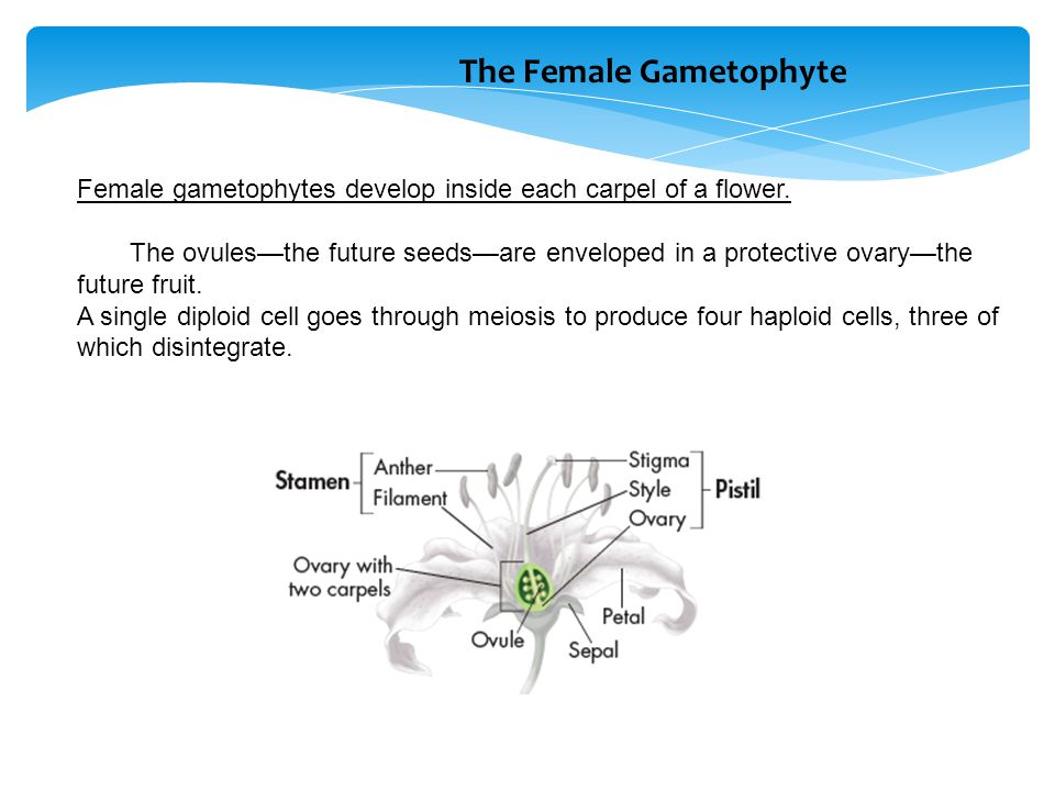 Female gametophytes develop inside each carpel of a flower. The ovules—the future seeds—are enveloped in a protective ovary—the future fruit. A single