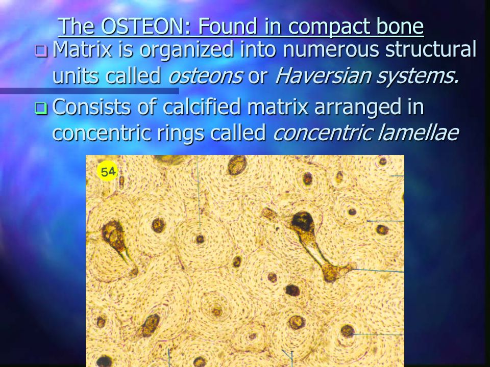 The OSTEON: Found in compact bone  Matrix is organized into numerous structural units called osteons or Haversian systems.
