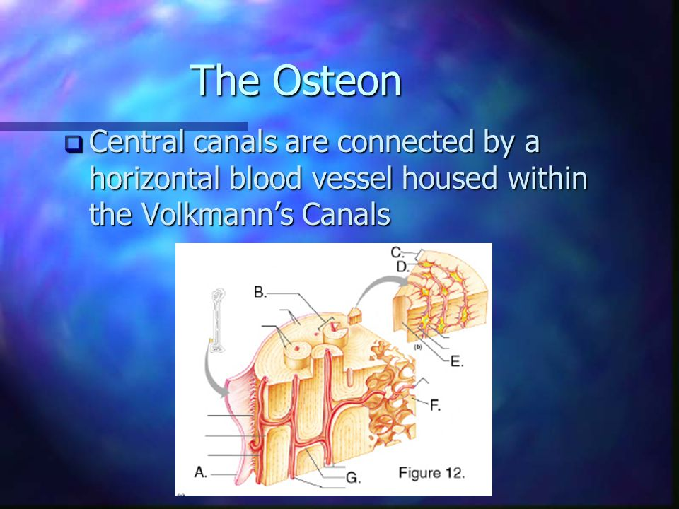 The Osteon  Central canals are connected by a horizontal blood vessel housed within the Volkmann's Canals