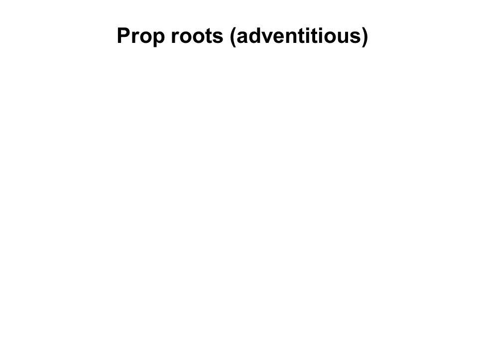 Prop roots (adventitious) Pandanus (Pandanaceae)
