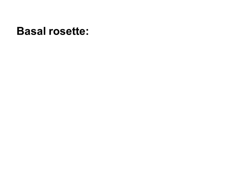 Basal rosette: