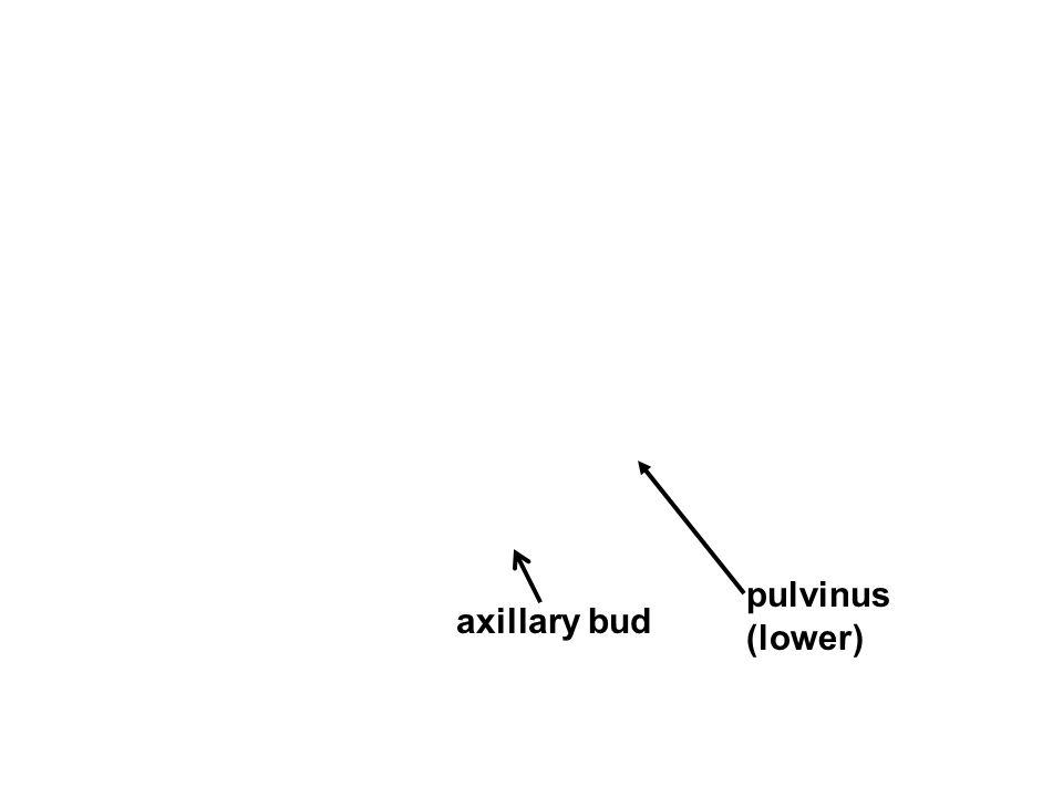 pulvinus (lower) axillary bud