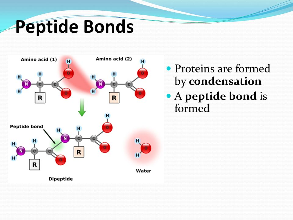 Peptide Bonds Proteins are formed by condensation A peptide bond is formed