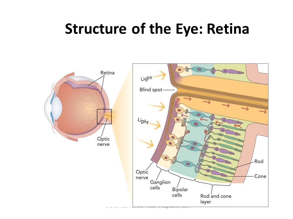 © 2011 The McGraw-Hill Companies, Inc. Structure of the Eye: Retina