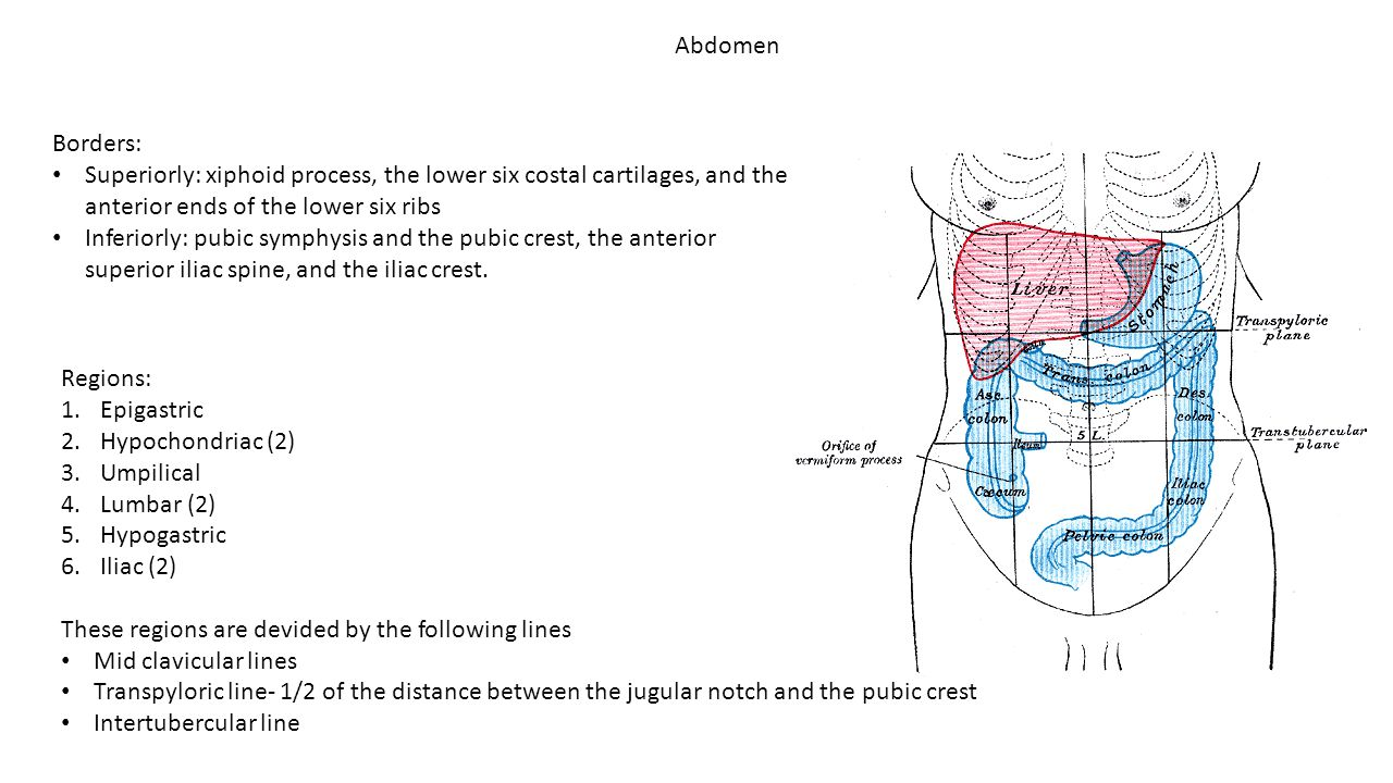 Abdomen Borders: Superiorly: xiphoid process, the lower six costal cartilages, and the anterior ends of the lower six ribs Inferiorly: pubic symphysis
