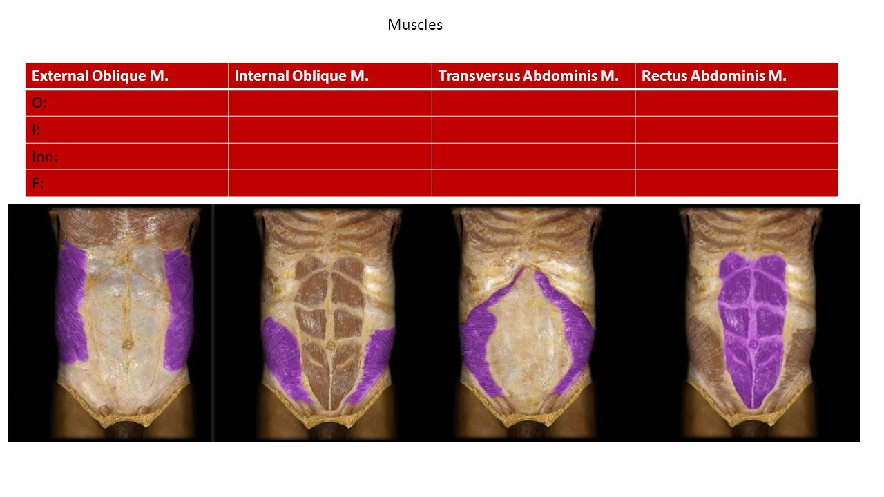 Muscles External Oblique M.Internal Oblique M.Transversus Abdominis M.Rectus Abdominis M.