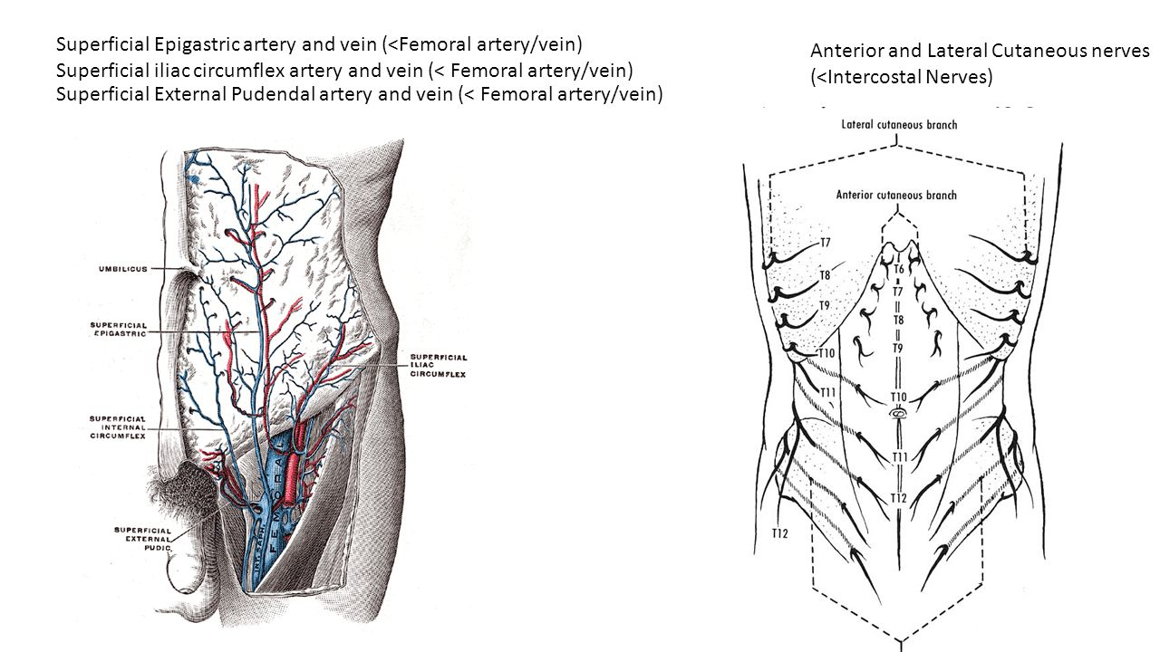 Superficial Epigastric artery and vein (<Femoral artery/vein) Superficial iliac circumflex artery and vein (< Femoral artery/vein) Superficial Externa