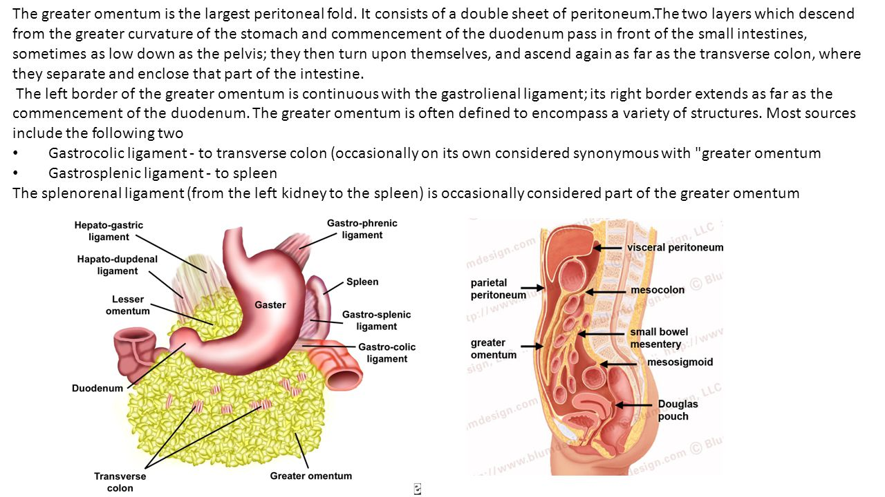 The greater omentum is the largest peritoneal fold. It consists of a double sheet of peritoneum.The two layers which descend from the greater curvatur