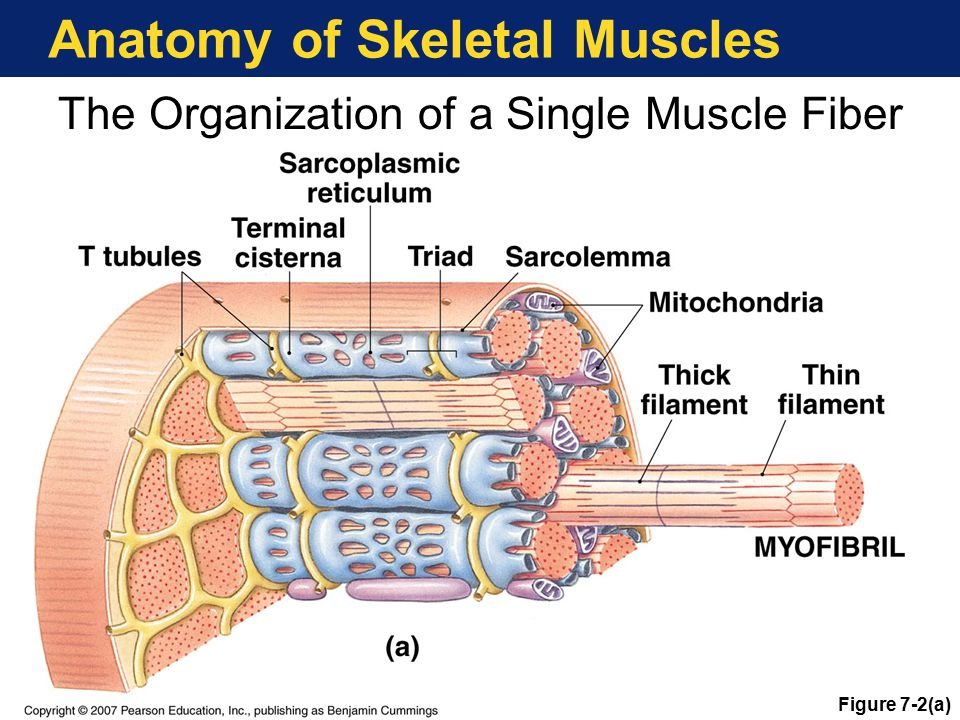 Anatomy of Skeletal Muscles The Organization of a Single Muscle Fiber Figure 7-2(a)