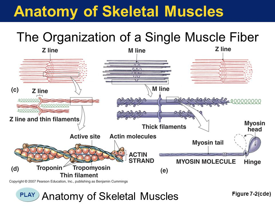 Anatomy of Skeletal Muscles The Organization of a Single Muscle Fiber Figure 7-2(cde) Anatomy of Skeletal Muscles PLAY