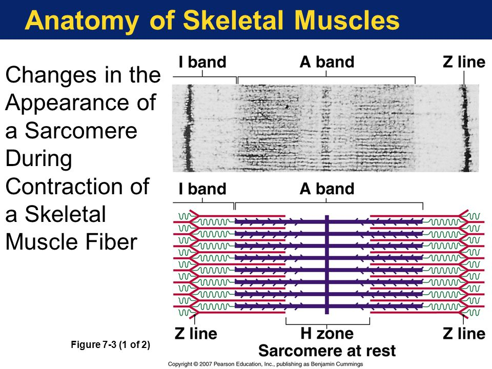 Anatomy of Skeletal Muscles Changes in the Appearance of a Sarcomere During Contraction of a Skeletal Muscle Fiber Figure 7-3 (1 of 2)