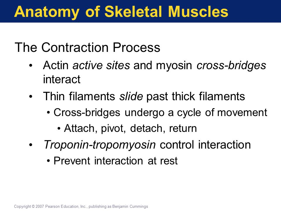 Anatomy of Skeletal Muscles The Contraction Process Actin active sites and myosin cross-bridges interact Thin filaments slide past thick filaments Cro