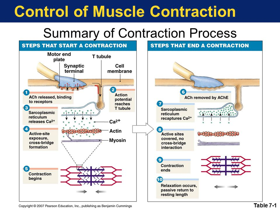 Control of Muscle Contraction Table 7-1 Summary of Contraction Process