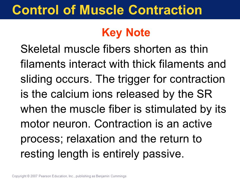 Control of Muscle Contraction Key Note Skeletal muscle fibers shorten as thin filaments interact with thick filaments and sliding occurs. The trigger