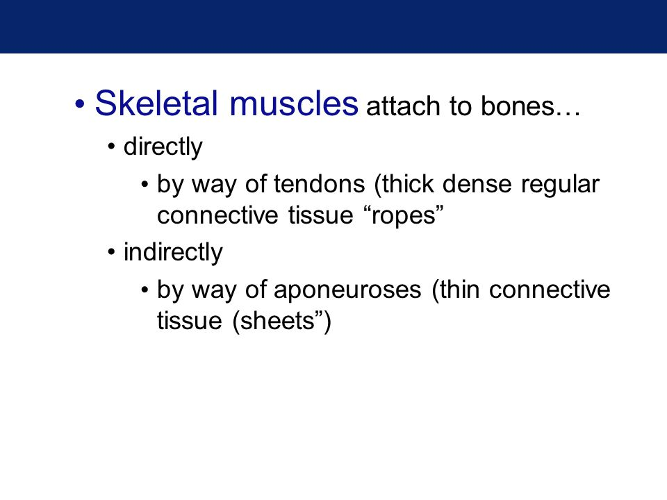 "Skeletal muscles attach to bones… directly by way of tendons (thick dense regular connective tissue ""ropes"" indirectly by way of aponeuroses (thin con"