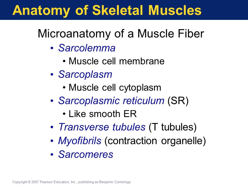 Anatomy of Skeletal Muscles Microanatomy of a Muscle Fiber Sarcolemma Muscle cell membrane Sarcoplasm Muscle cell cytoplasm Sarcoplasmic reticulum (SR